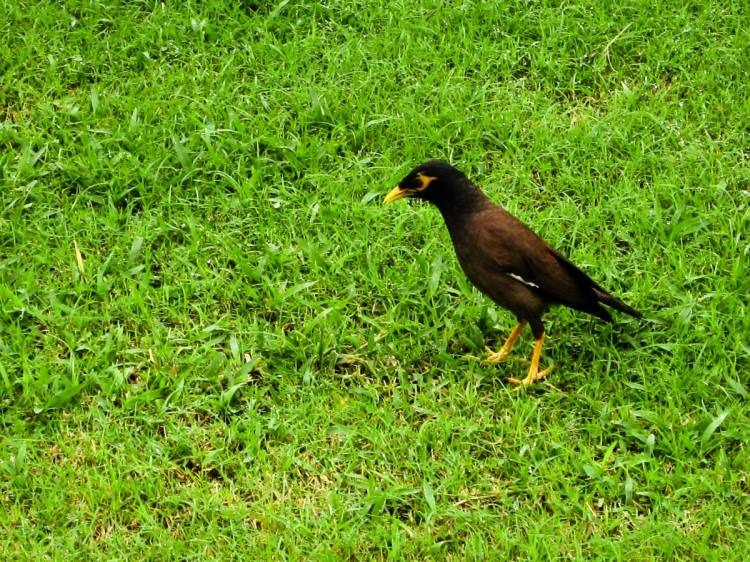 Common-Myna-By-Sagar-Thukral